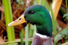 Dal-Dy-Dir-Duck