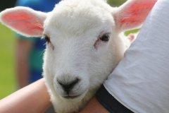 Dal-Dy-Dir-Lamb